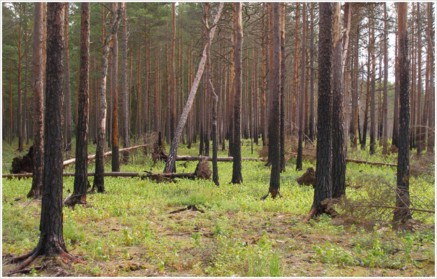 Odrodzenie lasu po pożarze